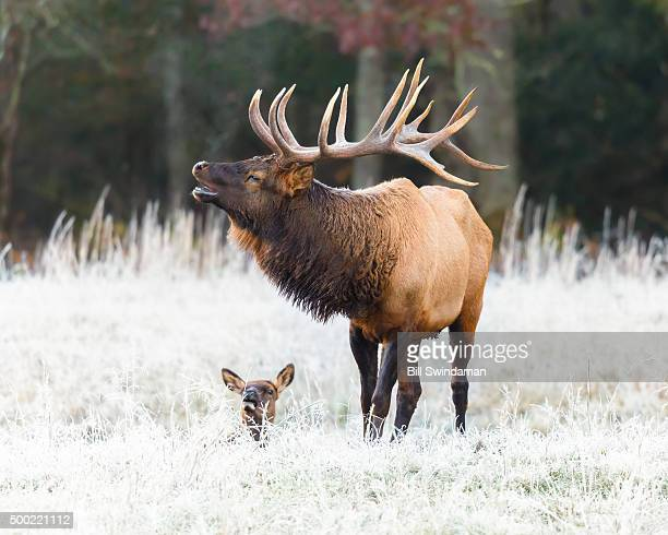 Large male elk in Smoky Mountain National Park