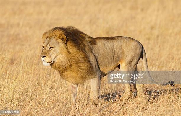 Large Male Lion on the Serengeti Savanna, Tanzania Africa