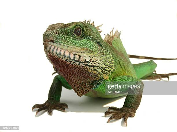 Large male Water Dragon