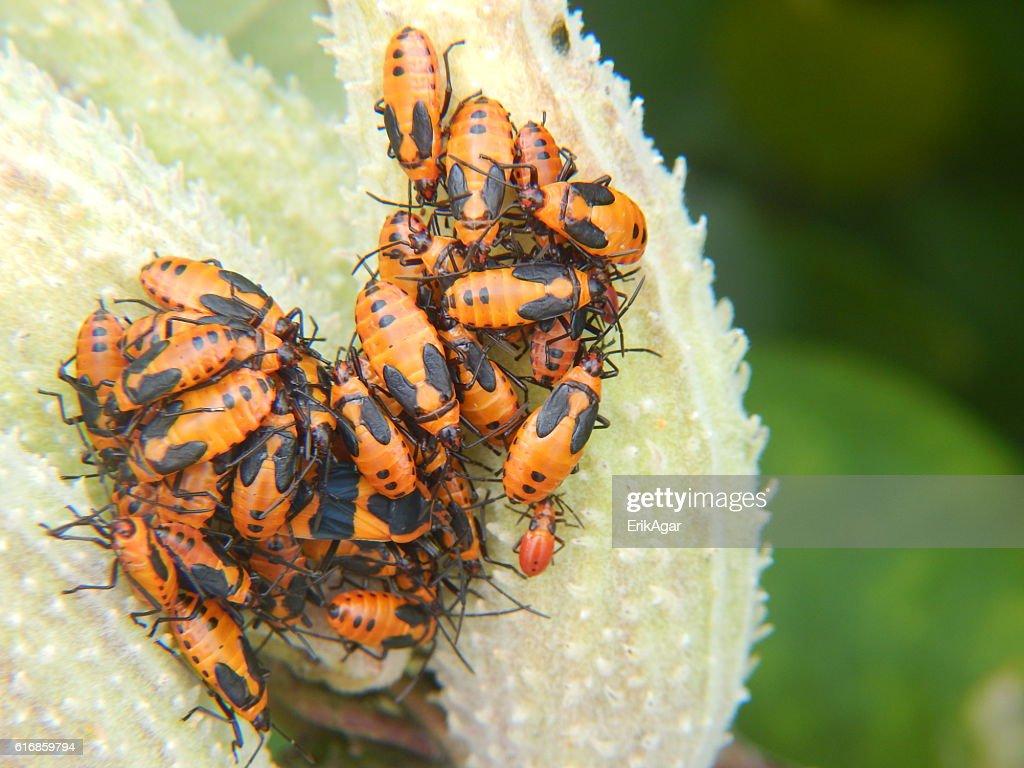 Large Milkweed Bug Colony on Milkweed Pod : Stock Photo