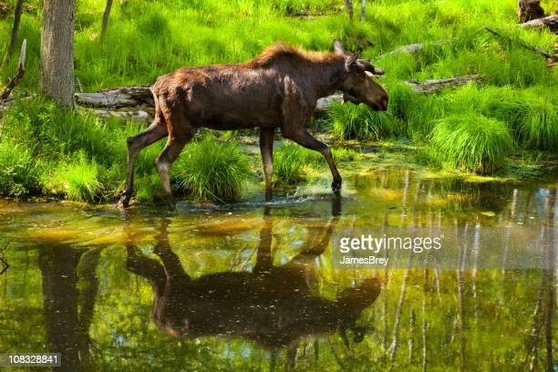 Large Moose Crossing Forest Stream, Reflection in Water