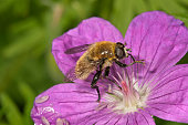 Large narcissus fly -Merodon equestris-, male eating pollen from bloody cranesbill -Geranium sanguineum-, Untergroeningen, Baden-Wuerttemberg, Germany, Europe