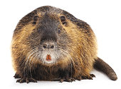 Large nutria isolated on a white background.