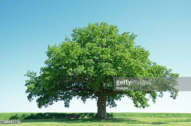 Large oak tree in a green barley field