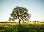 Large oak tree in field during springtime. Shot in sunset backlit with a medium format camera. No people are seen in frame.