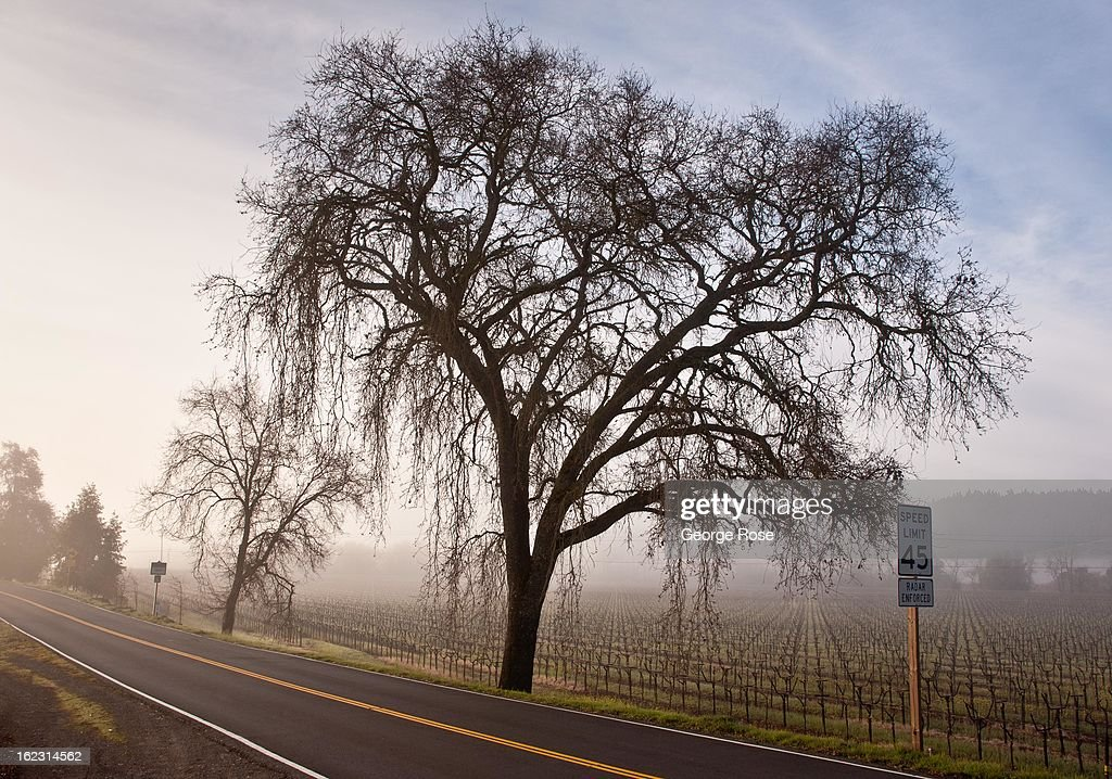 A large oak tree is shrouded in fog along Highway 128 on February 18, 2013, in Geyserville, California. Despite the cold winter weather, California wine producers are preparing for another successful vintage following the record harvest of 2012.