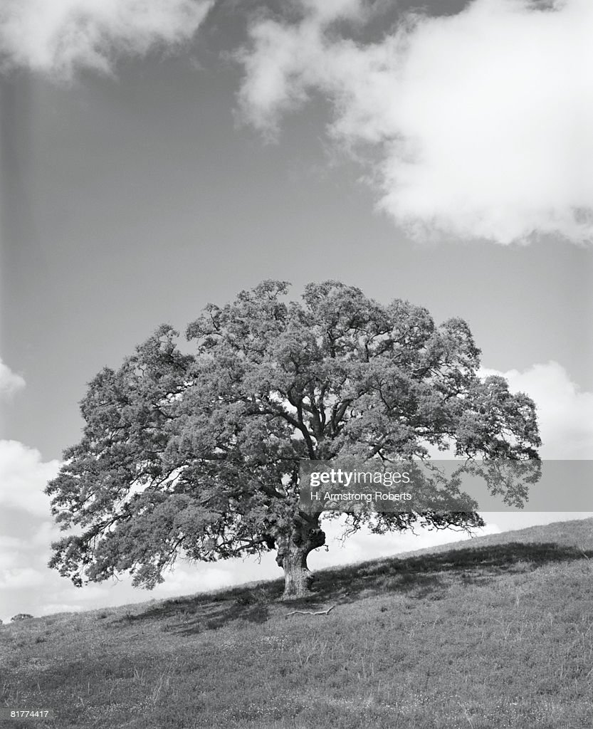 Large oak tree. (Photo by H. Armstrong Roberts/Retrofile/Getty Images) : Stock Photo