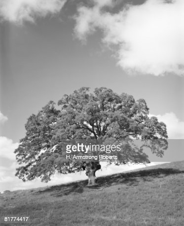 Large oak tree. (Photo by H. Armstrong Roberts/Retrofile/Getty Images) : Bildbanksbilder