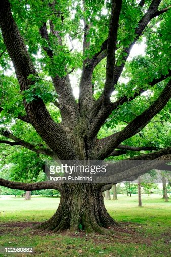 Large oak tree with outreaching branches.