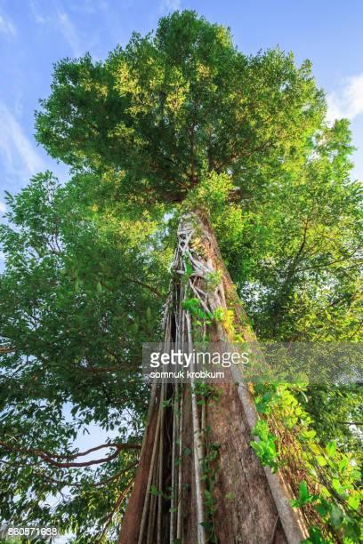 Large old tree