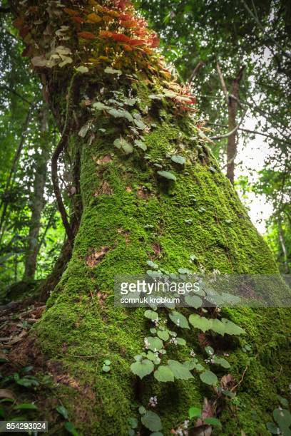 Large old trunk with green moss in rainy season