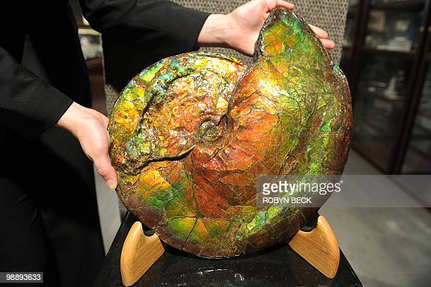 A large opalescent ammonite with an estimated sale price of USD2000023 is on display at an auction preview May 6 2010 in Los Angeles Bonhams...