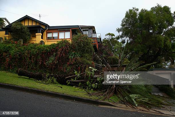 A large palm tree is seen uprooted in the suburb of Fairlight following gale force winds on April 22 2015 in Sydney Australia Three people have died...