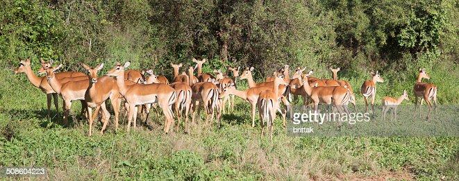 Large panorama with female impala. : Stock Photo