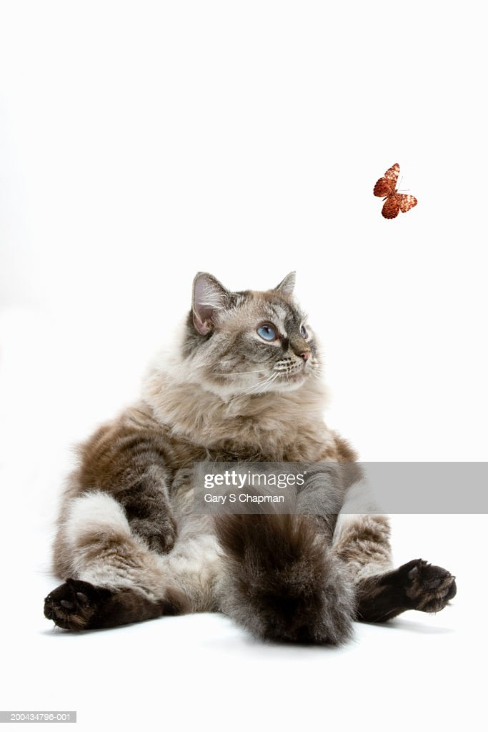 Large Persian cat sitting, looking at butterfly : Stock Photo