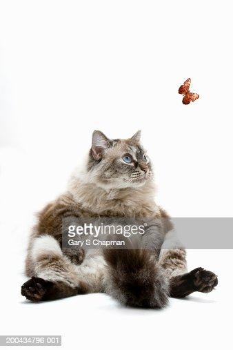 Large Persian cat sitting, looking at butterfly : Bildbanksbilder