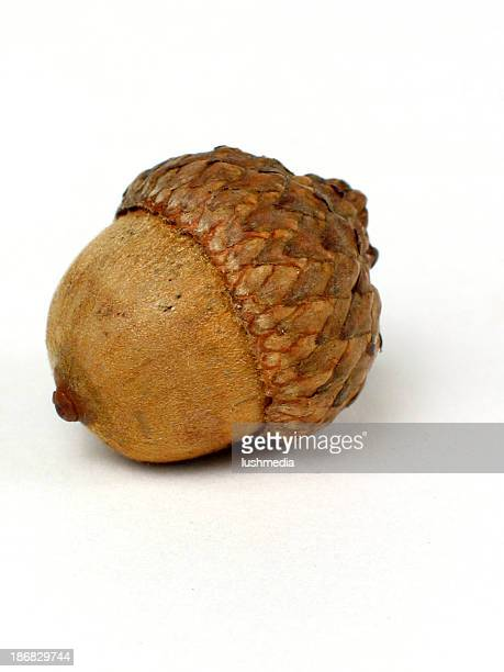 Large picture of an acorn on white background
