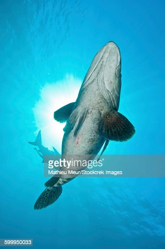 A large potato cod with oceanic blacktip shark in background.