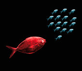 Large Red Fish Chasing Smaller Blue Fish.