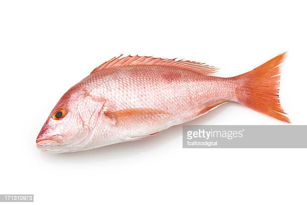 Large red snapper fish on white background