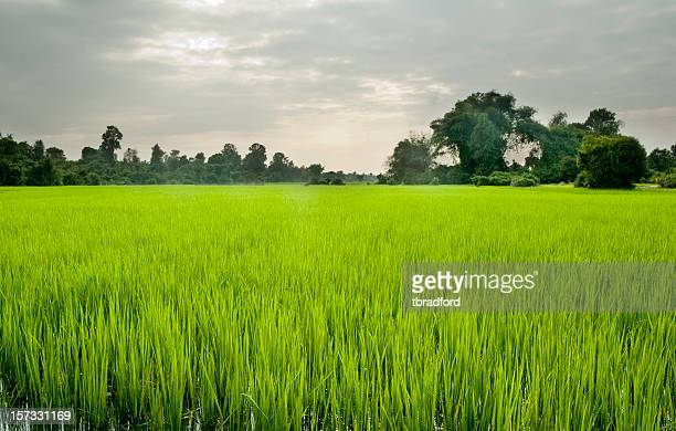 Große Reisfeld und schönen Sonnenuntergang in der Nähe von Siem Reap, Kambodscha