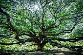 Large Samanea saman tree with branch in Kanchanaburi, Thailand. the big tree in thailand