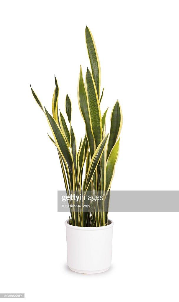 Large sansevieriya in a white pot : Stock Photo