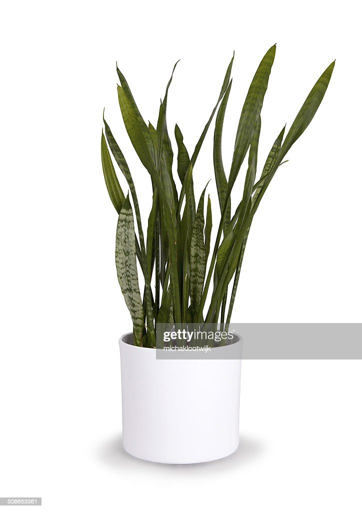 Large sansevieriya in a white pot : Stock Photo