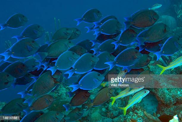 Large school of blue tang over coral reef Acanthurus coeruleus Bonaire Netherlands Antilles