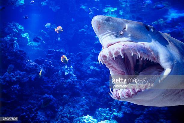 Large shark with jaws open attempting to catch and eat fish.