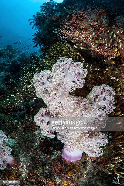 A large soft coral colony grows on a reef slope in Indonesia.