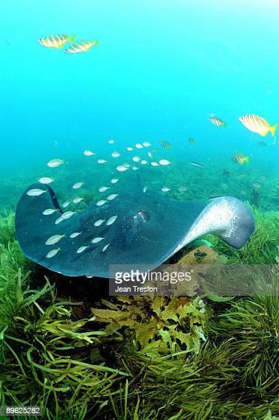 Large stingray with accompanying flot