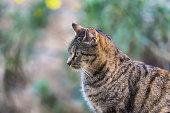 large striped European grey cat portrait