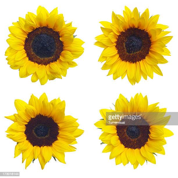 Grand tournesols XXL Tracés de détourage