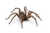 Large tarantula on white surface