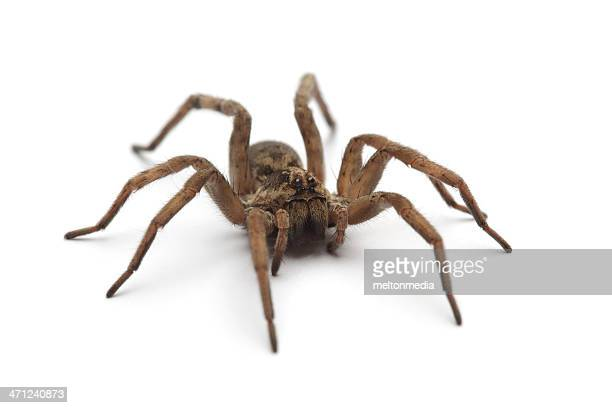 Large tarantula on white surface
