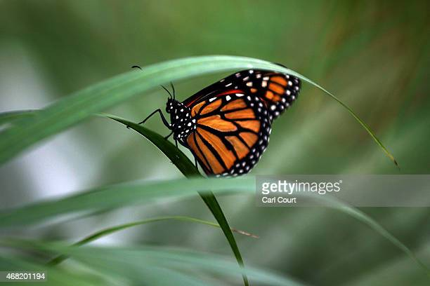 Large Tiger butterfly sits on a plant during a photocall to highlight the forthcoming 'Sensational Butterflies' exhibition at the Natural History...