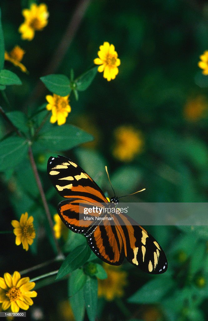 Large Tiger Butterfly (Lycorea cleobaea), with its distinctive tiger patterning. : Stock Photo