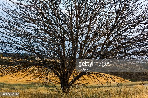 large tree growing in a field : Stock Photo