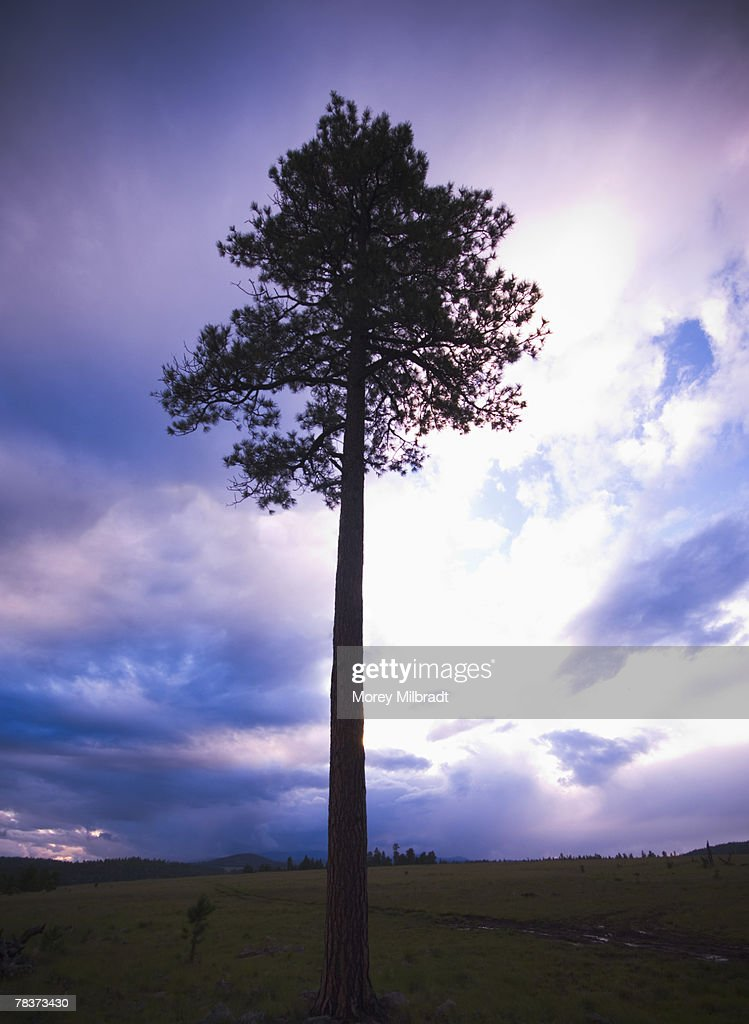 Large tree in front of cloudy sky : Stock Photo