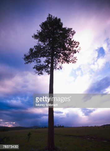 Large tree in front of cloudy sky : Foto stock