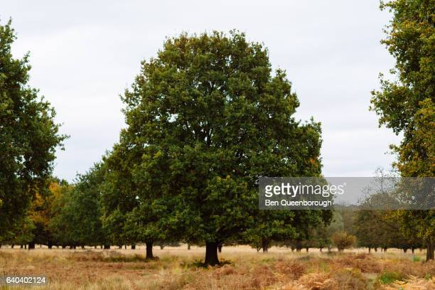 A large tree in Richmond Park, London