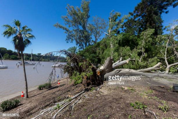 A large tree in the Brisbane Botanical Gardens felled by high winds and rain on March 31 2017 in Brisbane Australia Heavy rain has caused flash...