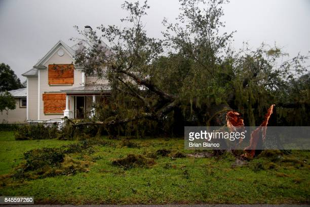 A large tree is seen laying in the front yard of a home after high winds from Hurricane Irma came through the area on September 11 2017 in Fort Meade...