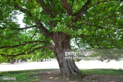 Large Tree of Cherry Tree : Foto de stock