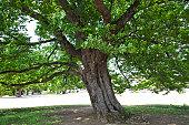 Large Tree of Cherry Tree