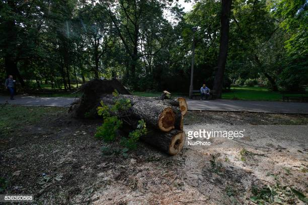 A large tree that was uprooted by a recent storm is seen on 19 August 2017