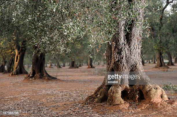 Large tree trunk of an olive tree