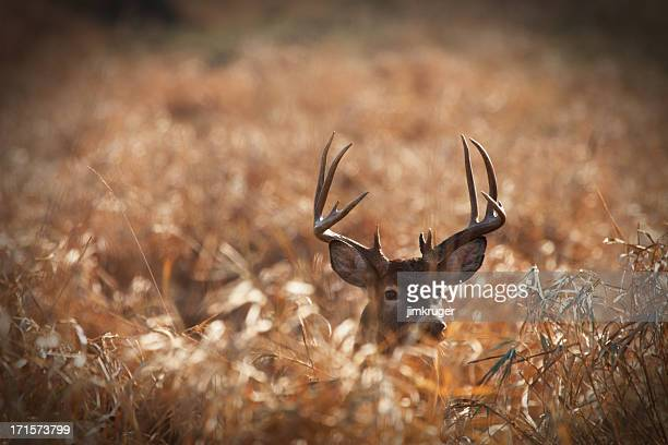 Large trophy size whitetail buck in prairie.