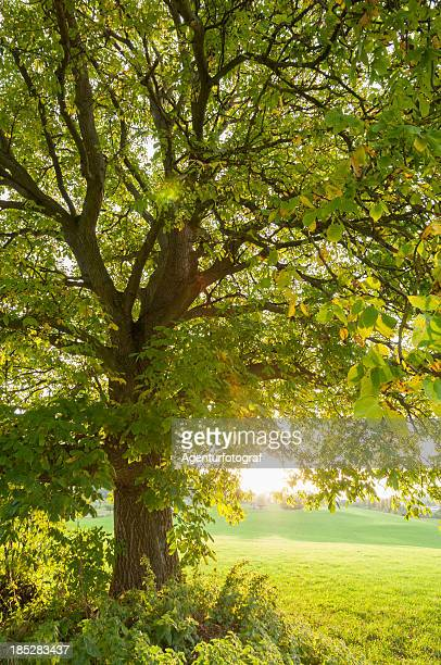 Large walnut tree (Juglans regia) in the evening light, autumn